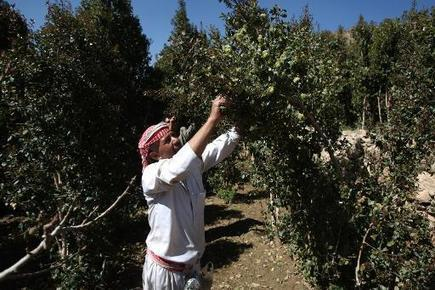 Qat cultivation drains Yemen's precious groundwater | Sustain Our Earth | Scoop.it