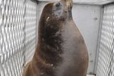 Wayward Sea Lion Rescued in California   All about water, the oceans, environmental issues   Scoop.it