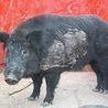 Wild Pigs (Feral Hogs)