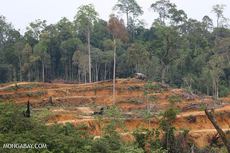 Companies hire local communities to evade palm oil restrictions in Indonesia | sustainability and resilience | Scoop.it