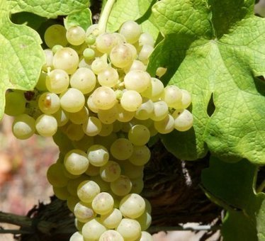 La production des blancs en Côtes du Rhône multipliée par deux d'ici 2020 | Autour du vin | Scoop.it