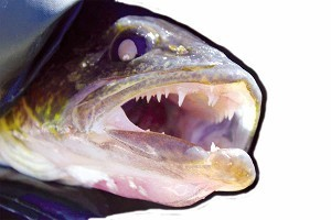 Welcome, anglers! Open water fishing season begins tomorrow - The Lakeland Times - Minocqua, WI | I love boating | Scoop.it