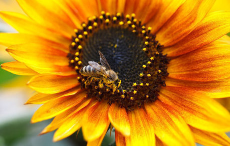 Surprisingly few 'busy bees' make global crops grow | Food issues | Scoop.it