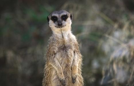 Le suricate serait le mammifère le plus meurtrier | Droit | Scoop.it