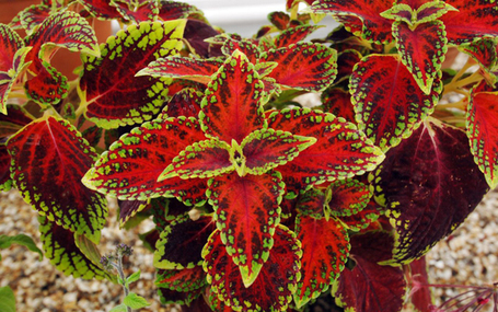 Variegation is the spice of life - Telegraph | AnnBot | Scoop.it
