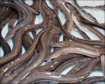 Nouvelle-Zélande. Il va à l'hôpital avec une anguille dans l'anus | Mais n'importe quoi ! | Scoop.it