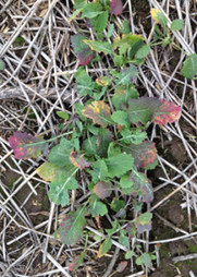 Green peach aphid and Beet western yellows virus - update 1 Oct 2014   Australia's Research-based Learning Network   Beet western yellows virus   Scoop.it