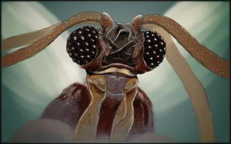Les Strepsiptères, une famille d'insectes trop «mimi» | Vigie Nature | EntomoScience | Scoop.it
