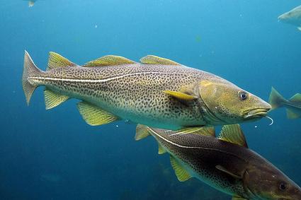 El cambio climático y su efecto sobre el bacalao   Fisiología de Organismos Marinos   Scoop.it