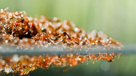 Ants That Can Flow Like a Fluid, or Move Like a Solid | All About Ants | Scoop.it