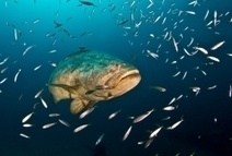 A Giant Comeback: Florida's Goliath Grouper | All about water, the oceans, environmental issues | Scoop.it