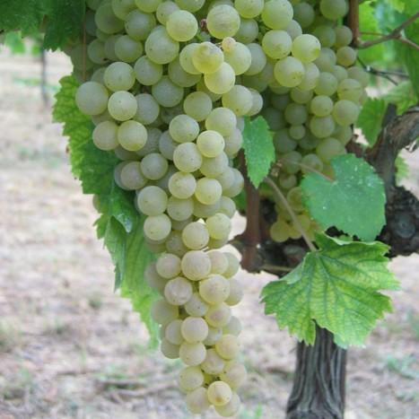Il Vino spiegato da chi lo fa | Il Pecorino che è tornato dalla montagna - Poderi Capecci San Savino | Le Marche un'altra Italia | Scoop.it
