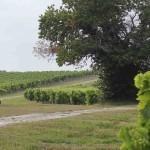 An Early Cognac Harvest is now Inevitable | Cognac-news | Scoop.it