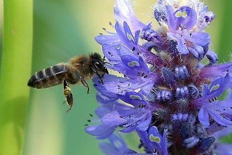 La reducción de variedades de flores está matando a las abejas | EcoAgroPaisaje | Scoop.it