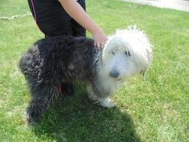 Petfinder  Adoptable | Dog | Sheep Dog | Steubenville, OH | SHAGGY | Nature wildlife and animal welfare and rights | Scoop.it