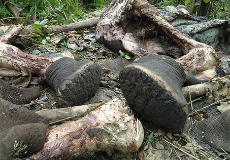 Alarm as 117 elephant carcasses found in Maasai Mara Game Reserve | The Fight for Elephant & Rhino Survival | Scoop.it