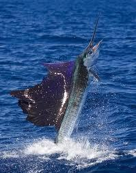 #Sailfish still #overfished ~ #NOAA 'Highly #migratorySpeciesDivision issued report... | Rescue our Ocean's & it's species from Man's Pollution! | Scoop.it