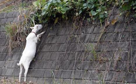 Japon: Des chèvres en location pour tondre le gazon - 20minutes.fr | japon | Scoop.it