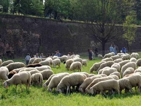 Le pecore «tosaerba» di Ferrara multate a Bondeno: irregolarità con i vaccini | Appunti | Scoop.it