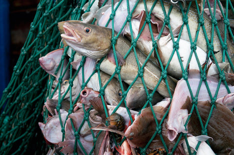 Fisheries Scientist Under Fire For Undisclosed Seafood Industry Funding | Ethics? Rules? Cheating? | Scoop.it