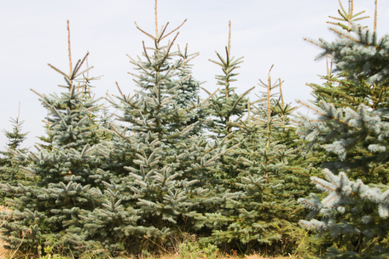 RIP Christmas trees? Warming weather could push firs out of MN forests | Christmas Trees and More | Scoop.it