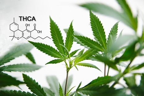 What is THCA and What Are the Benefits of This Cannabinoid? | Cannabinoid Issues | Scoop.it