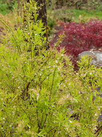 Great Design Plant: Ogon Spirea for Radiance and Texture   Annie Haven   Haven Brand   Scoop.it