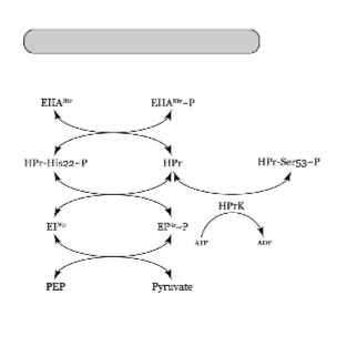 Biochemical characterization of a nitrogen-type phosphotransferase system reveals enzyme EINtr integrates carbon and nitrogen signaling in Sinorhizobium meliloti | Microbiology | Scoop.it