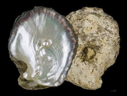 What We Can Learn from an Oyster | Pharmaceuticals, Strategy, Marketing, Advertising | Scoop.it