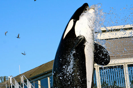 We're Ending #Orca Captivity One Law at a Time.   #OrcaAvengers   Scoop.it