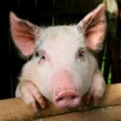PCRM | Victory! Congress Holds Military Accountable for Killing Animals | Nature Animals humankind | Scoop.it