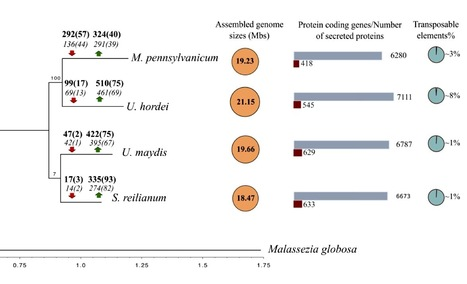 Genome Biology and Evolution: Gene loss rather than gene gain is associated with a host jump from monocots to dicots in the smut fungus Melanopsichium pennsylvanicum (2014)   Plant Pathogenomics   Scoop.it