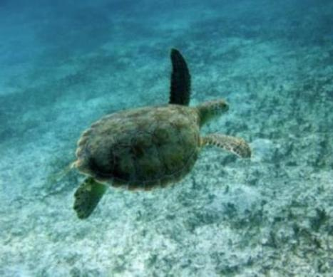 Legal take of turtles studied, but illegal fishing said bigger threat | Commercial fishing - legal issues | Scoop.it