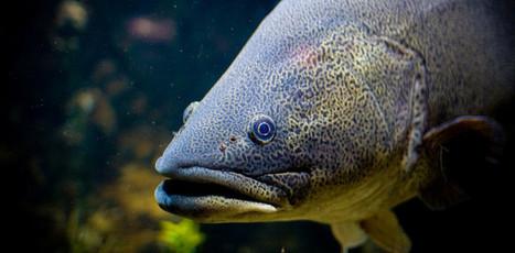 Australian endangered species: Murray Cod | VCE Environmental Science | Scoop.it