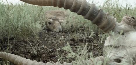 Kazakhstan : Une bactérie traîtresse a causé la mort de 200.000 antilopes   Confidences Canopéennes   Scoop.it