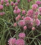 Herb Garden Plants - Chives | Indoor Herb Garden Kits and Herbal Remedies | Green Wisdom | Scoop.it