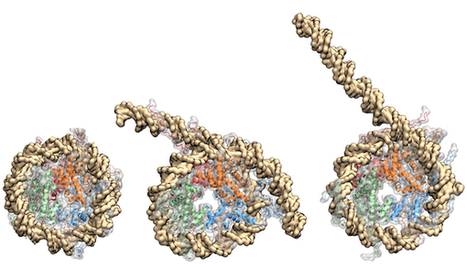 How nucleosome proteins exert control over DNA function | Amazing Science | Scoop.it