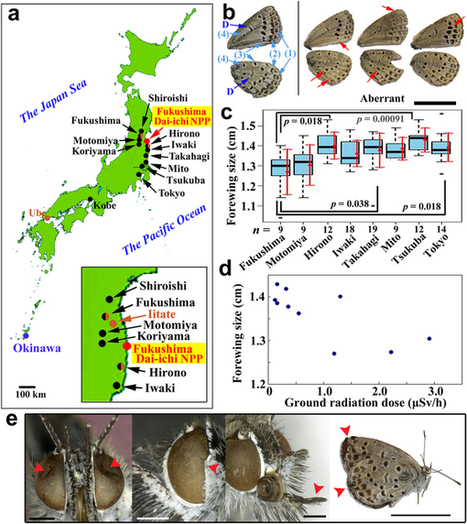 The biological impacts of the Fukushima nuclear accident in Japan on the pale grass blue butterfly | khamneithang | Scoop.it