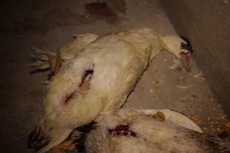 La cruauté du gavage des oies françaises indigne au Royaume-Uni | animals rights and protection | Scoop.it