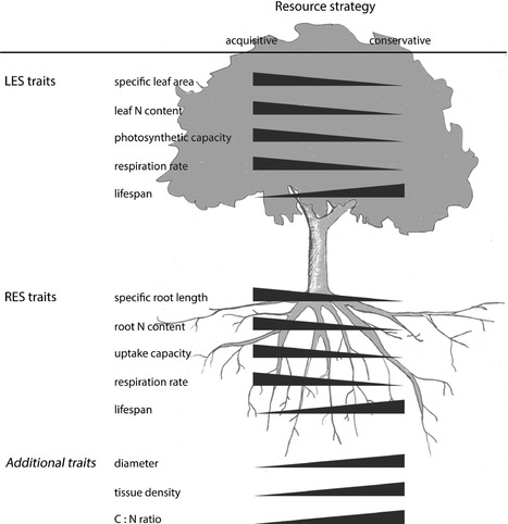 Towards a multidimensional root trait framework: a tree root review | MycorWeb Plant-Microbe Interactions | Scoop.it