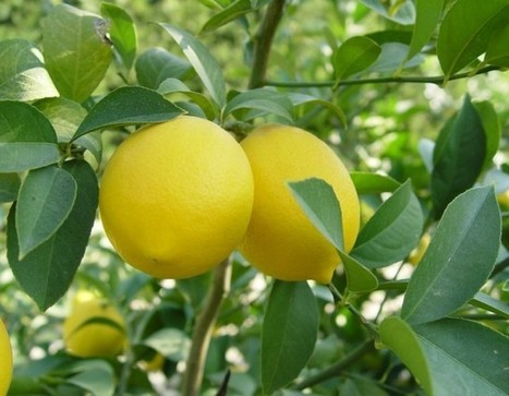 Things You Did Not Know about Lemon – Healing Secrets and Health Benefits | eCellulitis | Healthy Food Tips & Tricks | Scoop.it
