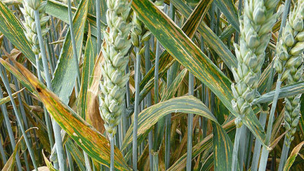 JIC/BBSRC mention: New research funding to combat yellow rust | BBSRC News Coverage | Scoop.it