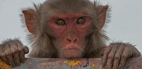 Macaques, suivez mon regard ! | Aux origines | Scoop.it