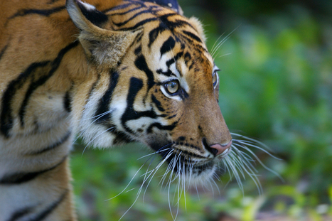 Malayan Tiger   Species   WWF   Year 7 Science: Endangered Species – Tigers across Asia   Scoop.it