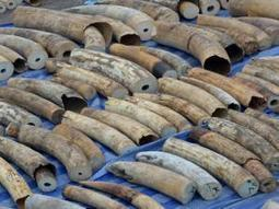 860kg ivory haul hidden in fish heads | Wildlife Trafficking: Who Does it? Allows it? | Scoop.it