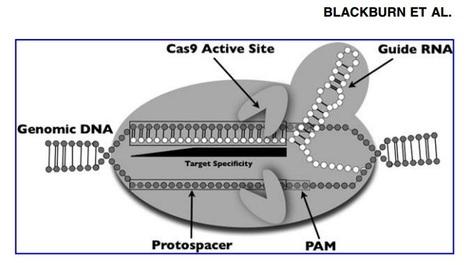 The CRISPR System—Keeping Zebrafish Gene Targeting Fresh | crispr | Scoop.it