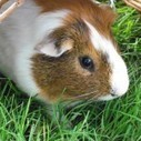 The 57 Ultimate Guinea Pig Names   Interesting Names   Boys, Girls, Last Names and Pets   Scoop.it