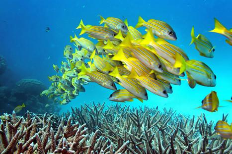 No, the Great Barrier Reef in Australia is NOT dead. But it is in trouble. | Coastal Restoration | Scoop.it