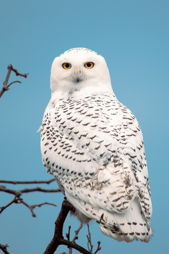 Snowy Owls - Maine - Down East Magazine   Oceans and Wildlife   Scoop.it