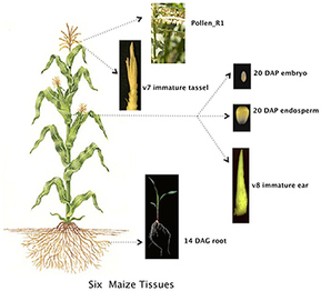 """Amazing protein diversity"" is discovered in the maize plant 